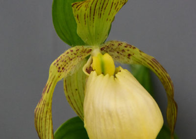 Limited Editions Cypripediums